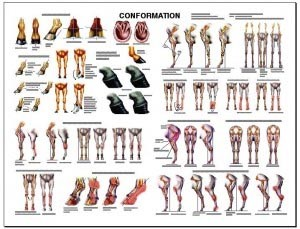 Equine Conformation Wall Chart