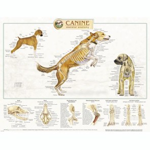 Canine Skeletal Wall Chart